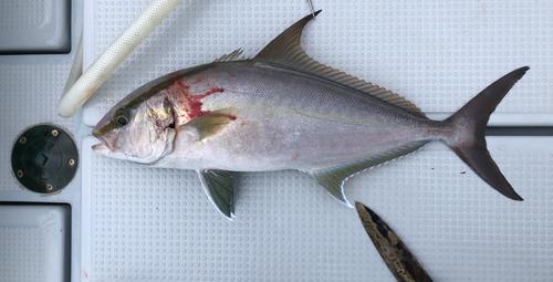 ヒレナガカンパチの釣果