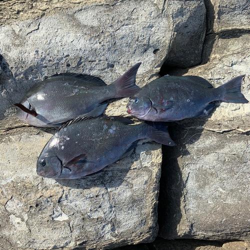 クチブトグレの釣果