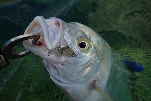 ナンヨウカイワリの釣果