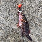 ボウズ釣り倶楽部の釣果