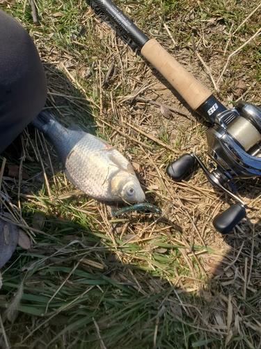 ヘラブナの釣果