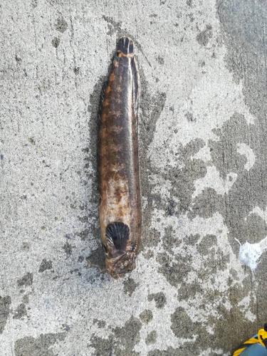 フサギンポの釣果