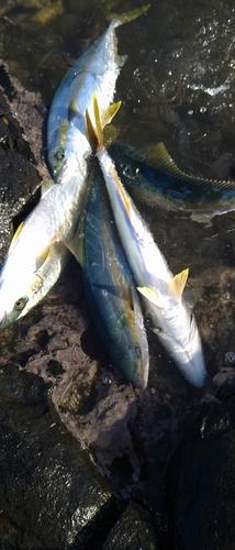 ヒラマサの釣果