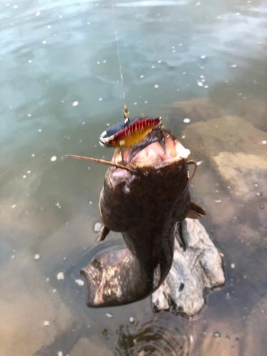 ナマズの釣果