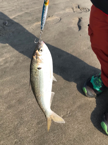 釣果 伊良湖