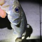 やっち@埼玉の小物釣りの釣果