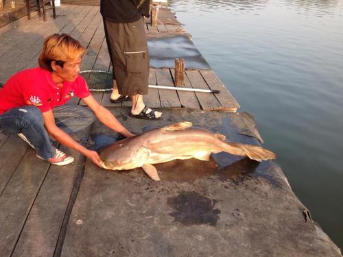 メコンオオナマズの釣果