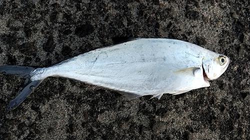 イケカツオの釣果