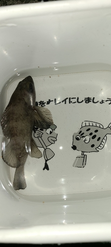 ウスメバルの釣果