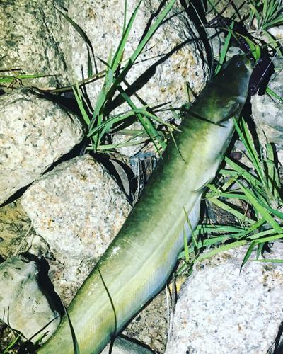 ニホンナマズの釣果