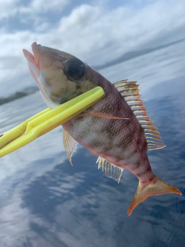 ホオアカクチビの釣果