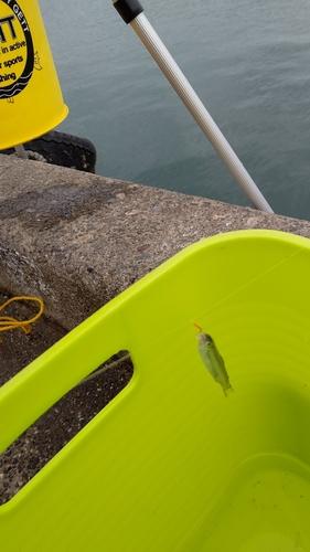 チアユの釣果