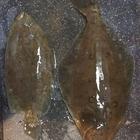 ガンゾウビラメ