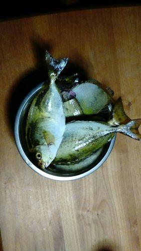 アイゴの釣果