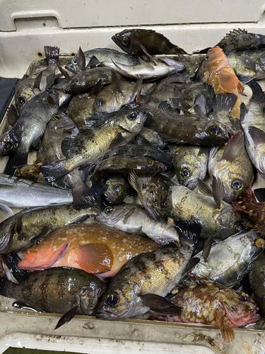クロメバルの釣果
