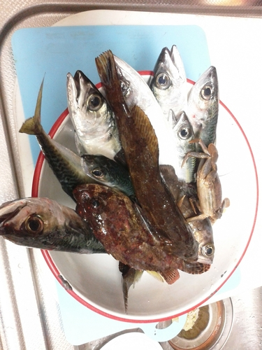 マサバの釣果