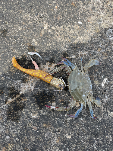 タイワンガザミの釣果