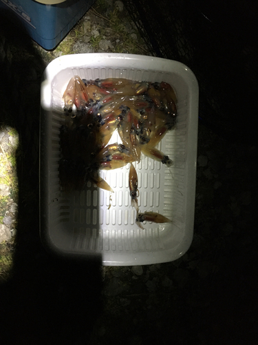 ホタルイカの釣果