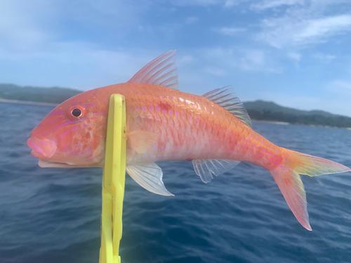 タカサゴヒメジの釣果