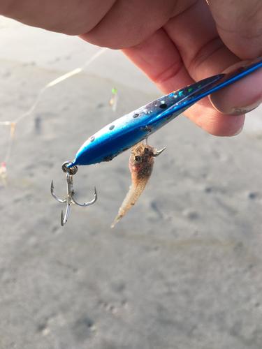 マゴチの釣果