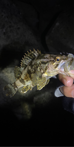 タケノコメバルの釣果