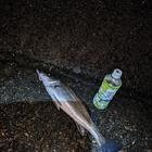 アングラーマキの釣果