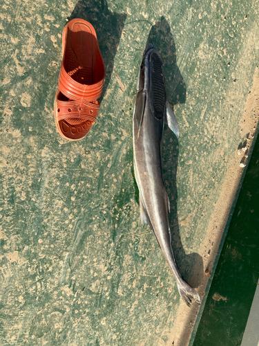 コバンザメの釣果