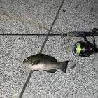 釣り吉。の釣果