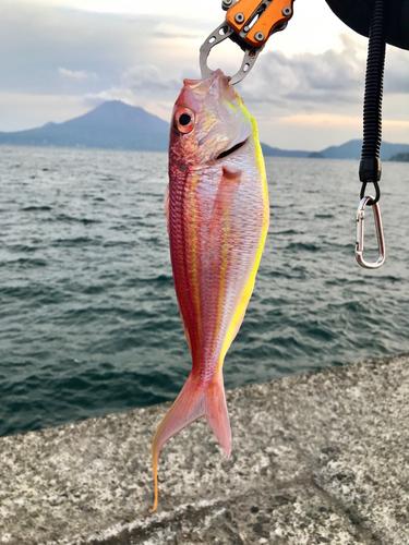 イトヨリダイの釣果