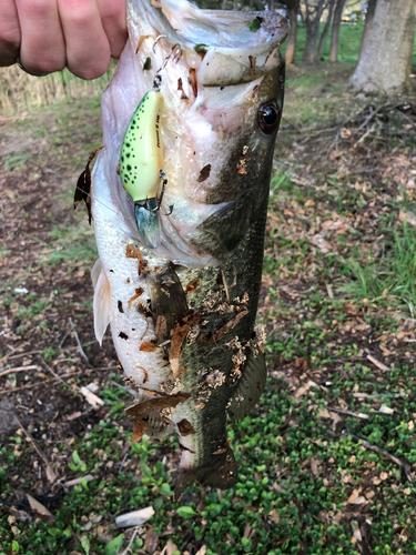 ラージマウスバスの釣果