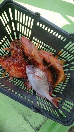 チダイの釣果