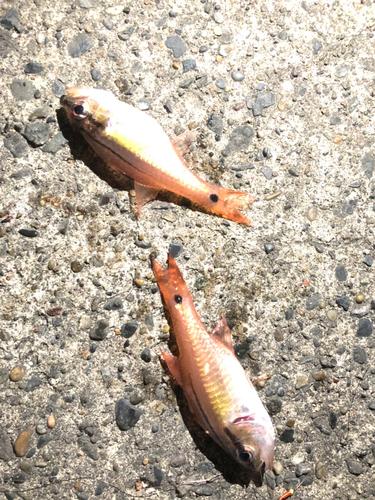 ネンブツダイの釣果