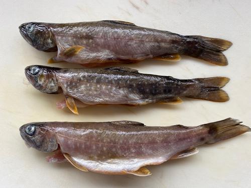 ニッコウイワナの釣果