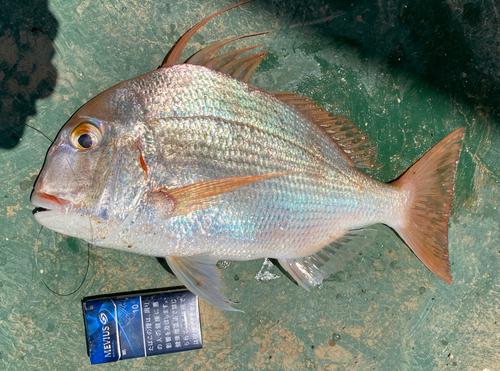 タイワンダイの釣果