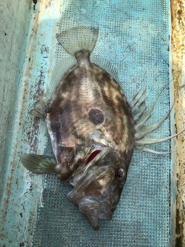 マトウダイの釣果