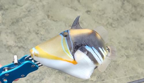 ムラサメモンガラの釣果