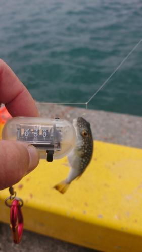 フグの釣果