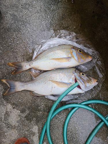 タマンの釣果