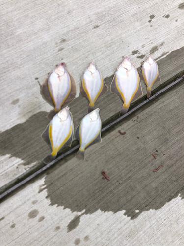 スナガレイの釣果