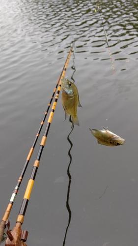 フナの釣果