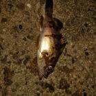 先代CHA-BINの釣果
