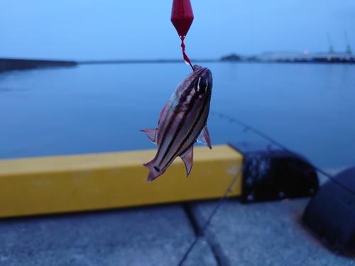 オオスジイシモチの釣果
