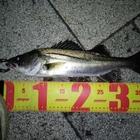 フッコ(マルスズキ)
