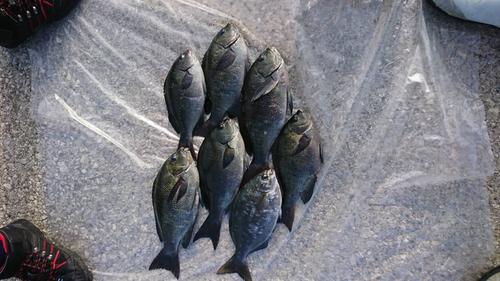 グレの釣果