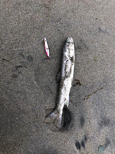 ウミアメの釣果