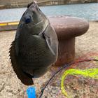 釣りハマり人の釣果