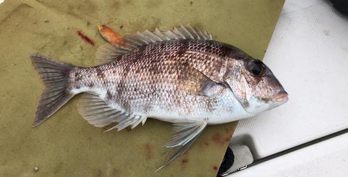 シロダイの釣果