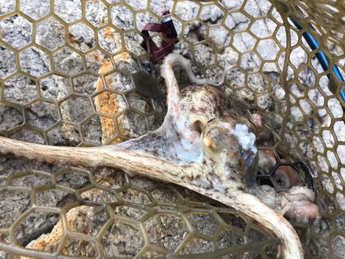 マダコの釣果