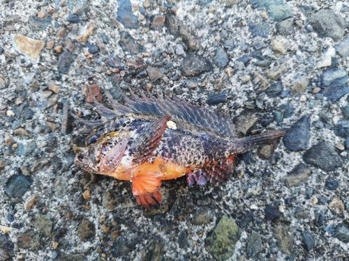 ハオコゼの釣果