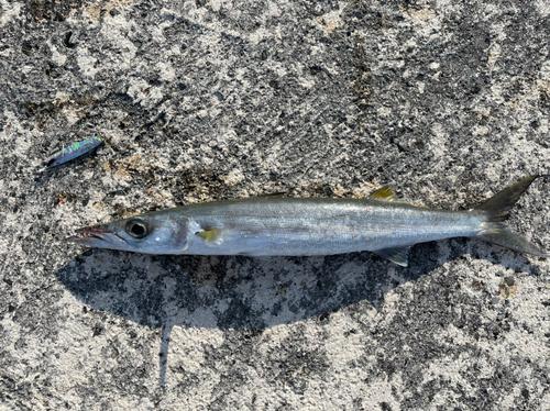 オオメカマスの釣果